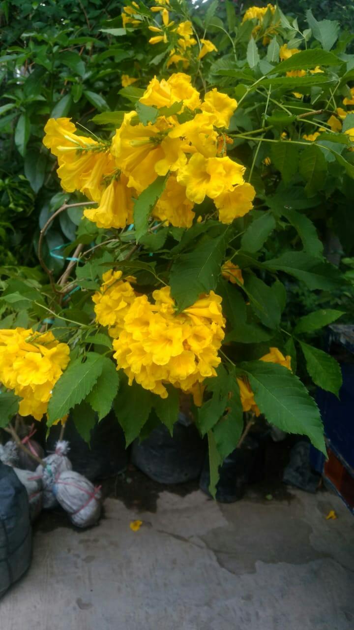 Tanaman bunga tekomaria