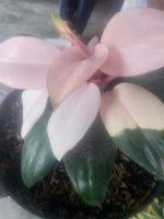 Bibit tanaman bunga pink beauty