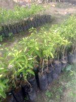 Bibit tanaman buah jeruk RGL