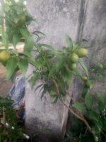Bibit tanaman buah jeruk nagami