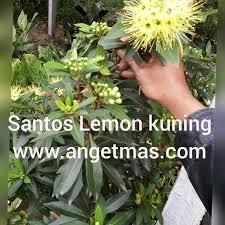 tanaman santos lemon