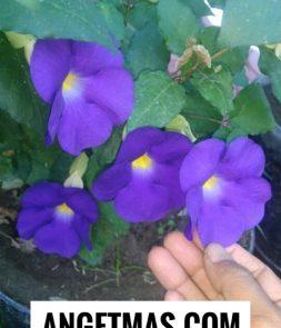 Tanaman bunga tunjung biru