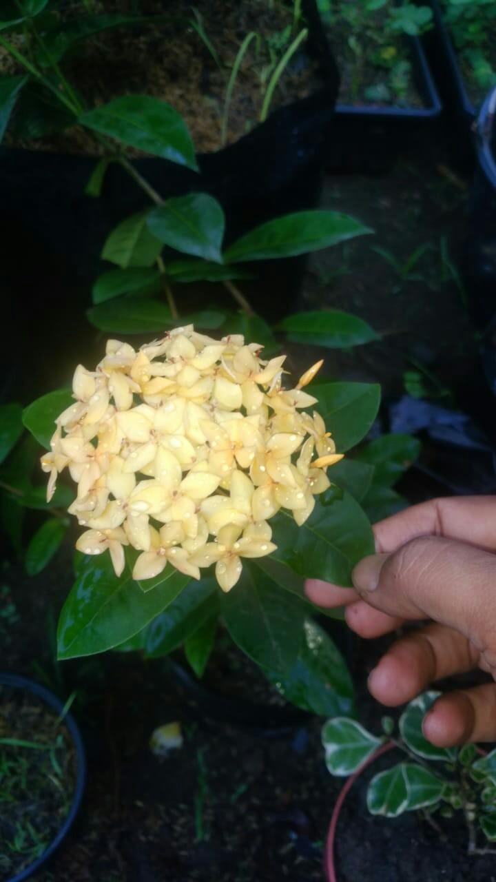 Bibit tanaman bunga asoka Holland
