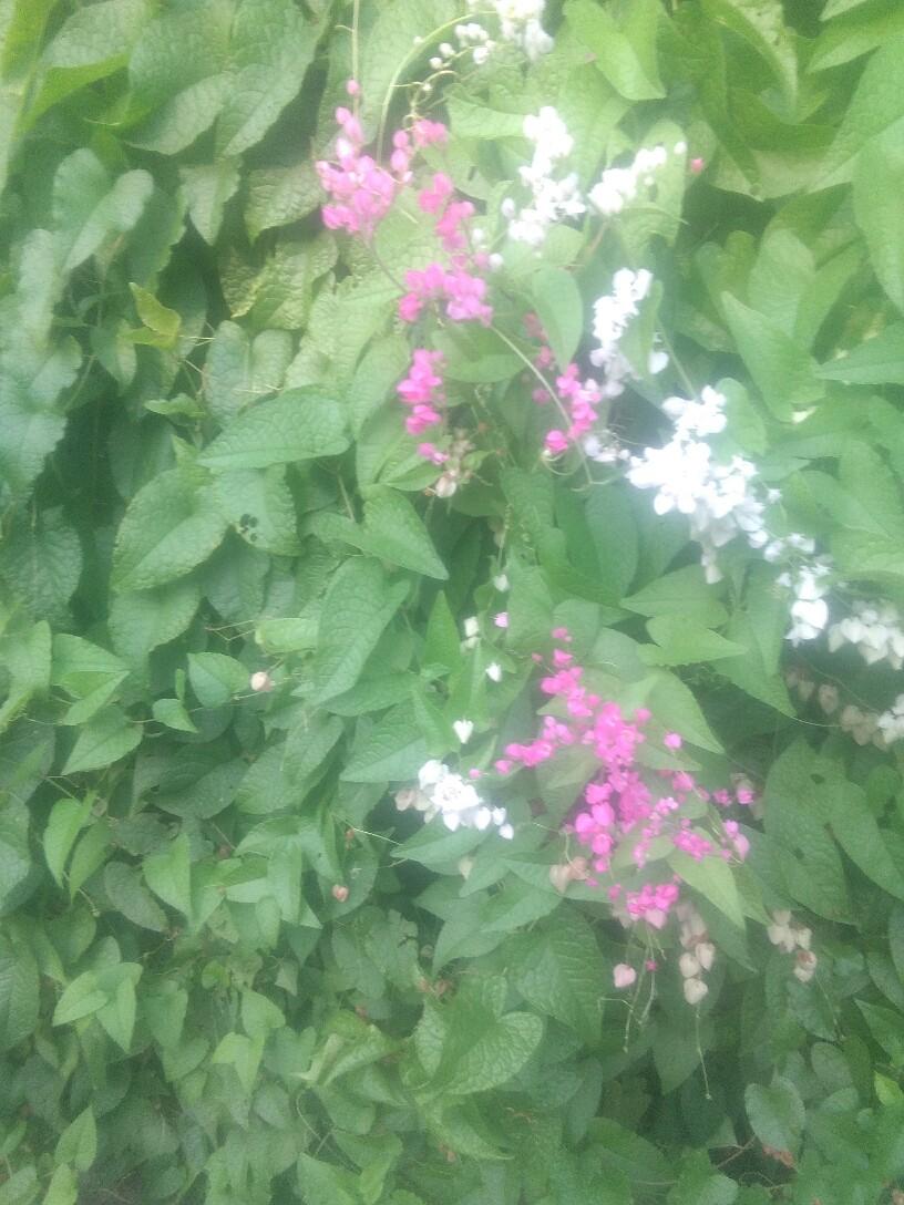 Tumbuhan bunga air Mata pengantin