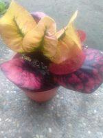 Bibit tanaman bunga puring klx
