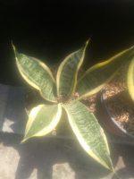 Bibit tanaman bunga Sansiviera vutura superba