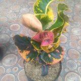 Bibit tanaman bunga puring apel fuji
