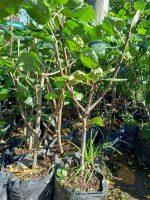 Tanaman buah Pir Merah