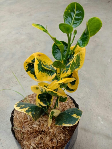 Bibit Tanaman bunga puring Apel Koin Kuning