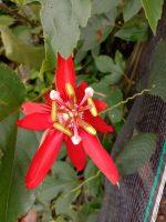 Tanaman bunga Passiflora coccinea