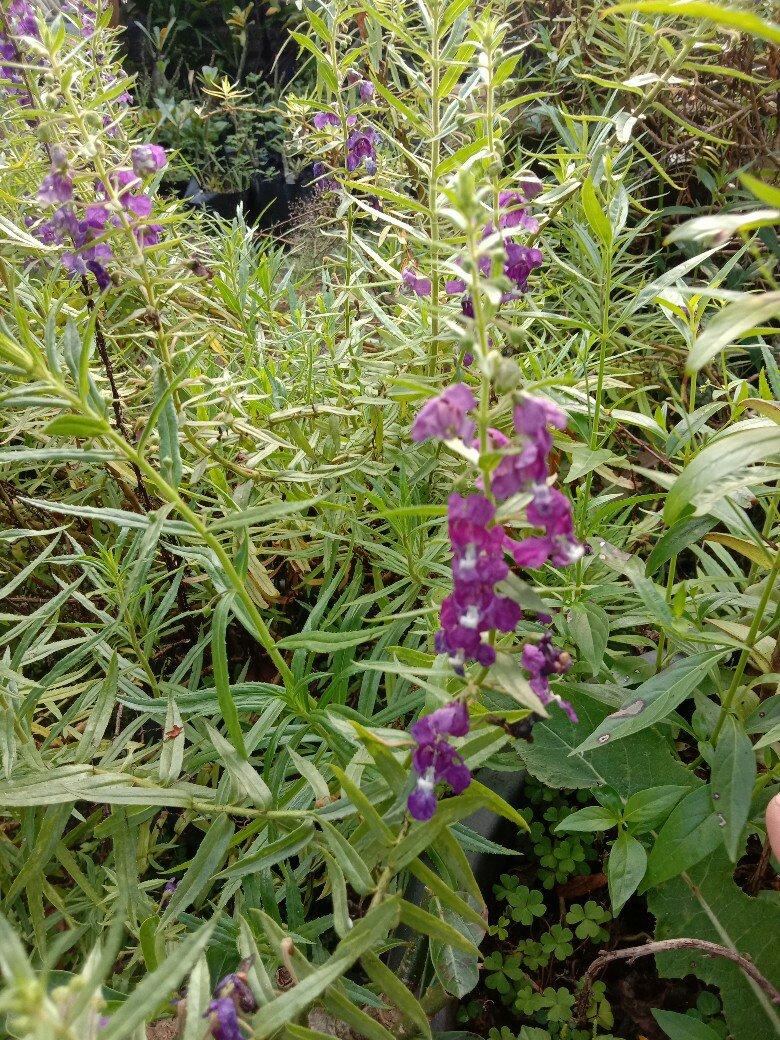 Jual bibit tanaman bunga lavender