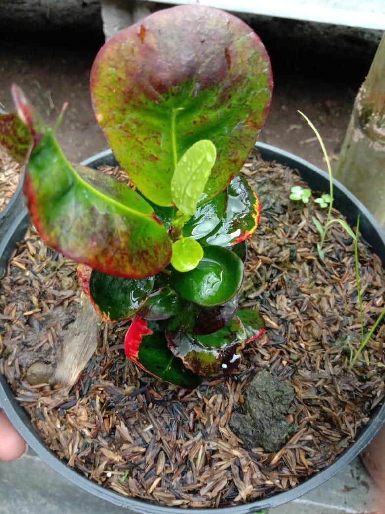 Bibit tanaman bunga puring Apel koin merah