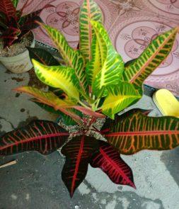 Jual bibit tanaman bunga puring pink miredian