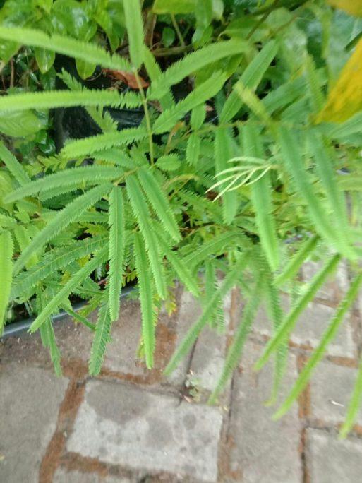 Jual bibit tanaman kedawung
