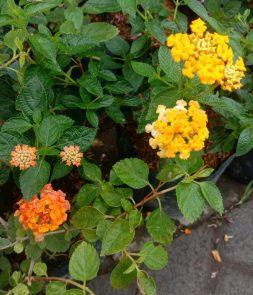 Jual bibit tanaman bunga Tembelekan